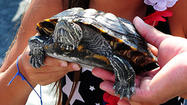 End turtle derbies for animals', humans' sake, activists, experts say