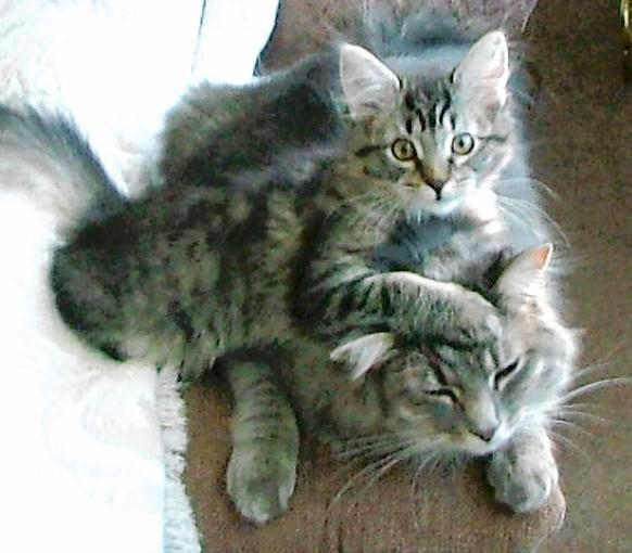Fuzzhead and Cassie, two Maine coon mixes adopted in the Lehigh Valley region, are owned and loved by Frank Porter of Lake Placid, N.Y.