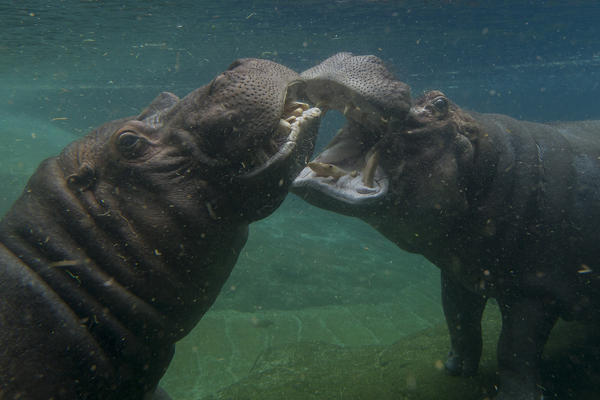 Otis, left, and Funani are reunited in their pool at the San Diego Zoo after a two-year separation.