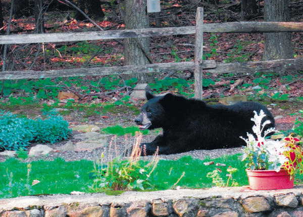 Wells Ridenour of Boonsboro took this photo of a bear in his yard at about 8 a.m. on June 28. Ridenour said the bear spent about 20 minutes at his Boonsboro Mountain Road home. Ridenour said it is not the first bear he has seen at his home, but he believes it is the largest he has seen.