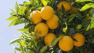 Valencia oranges, under siege in California, fight to survive