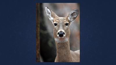 Antlerless license applications first round of sales set to kick off on Monday.