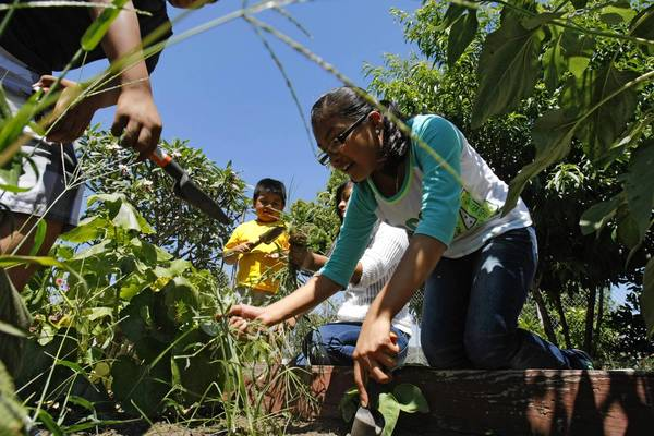 Litzi Reyes, 12, works in the garden at Bell Gardens Intermediate School. Every public school in Bell Gardens has an urban farm run by members of the Environmental Garden Club.