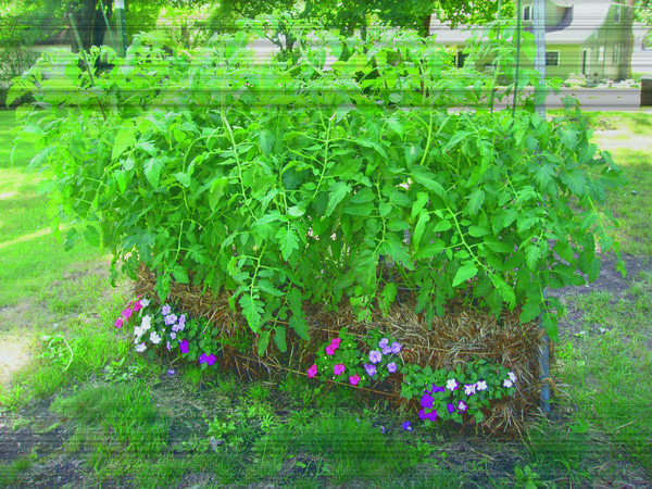 Tomatoes are among the easiest plants to grow in straw bales, which are embellished with flowering annuals.