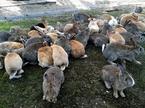 Bunnies cluster in a group after cabbage is scattered on the ground in Okunoshima, a small island in Japan's Inland Sea.