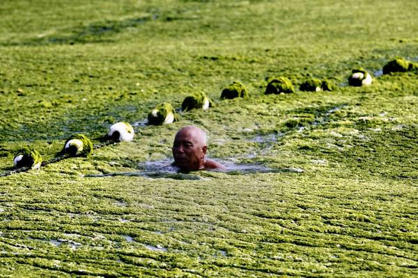 A man swims in the sea off Qingdao, China, during a massive algae bloom this month.