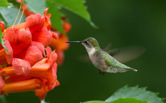 Hummingbirds Are Their Numbers Dwindling And Where Are