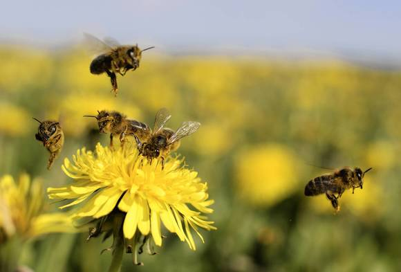 "Getting stingers out of the skin after a bee sting and leaving the area are crucial because the bee's ""alarm"" pheremone can attract other bees, said Dr. David Zich of Northwestern Medicine."