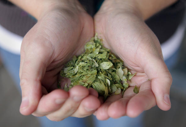 Lacey Griebeler holds a hand full of hop leaves at her home where she and her husband make a brew on Sunday, Apr. 25, 2010, in Chicago. Hops influence the flavor and act as a natural preservative in beer.