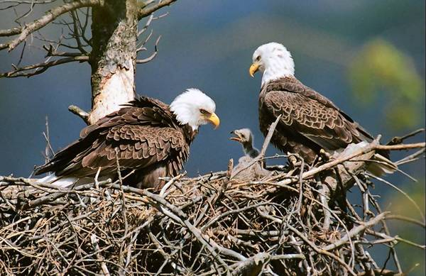 In 2005, the Pennsylvania Game Commission released this photo of nesting bald eagles to show how the birds were making a comeback. Last week, the commission said there now are 252 such nests.