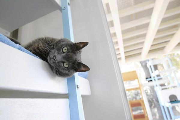 Shiva, a Blue Russian cat, lays her head out while she relaxes inside the newly renovated wing at Blue Bell Foundation in Laguna Beach on Tuesday. In 2010, this building was damaged by a storm.