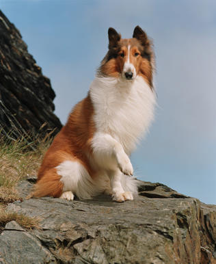 "Lassie the dog stars in the movie ""Lassie"" (2006)."