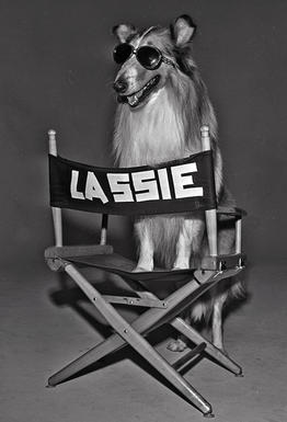 Lassie poses on her directors chair on August 17, 1977.