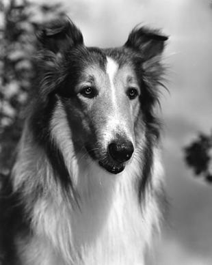 A survey conducted by the research firm Penn Schoen Berland this spring found that Lassie had an 83% brand awareness among those polled in the U.S., and DreamWorks Animation plans to put the charismatic collie back in the public eye. The words most associated with her: