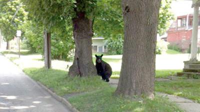 Pepe and Teresa Matsko, Boswell, found this bear walking around Somerset Monday morning.