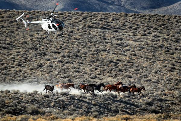 Helicopter Horse Herding Helicopters Herding Wild