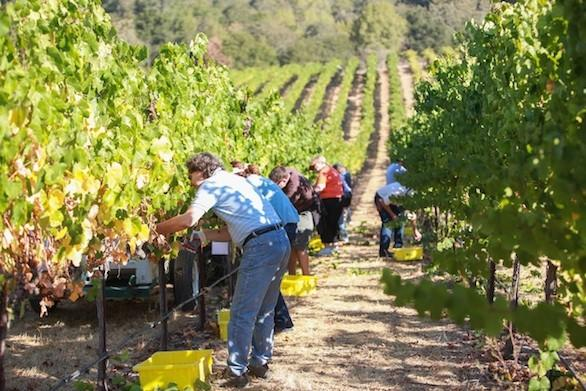 Participants in the three-day Grape Camp help with the harvest in Sonoma County.