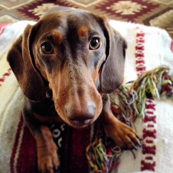 Rigby, a one year old dachshund, owned by Amy Kolb of Pennsburg.