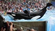 Review: 'Blackfish' and the thorny captivity of a killer whale