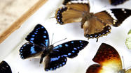 South Africa butterfly hunters: A rare breed