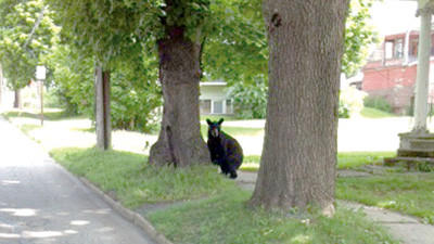 Pepe and Teresa Matsko, Boswell, captured this photograph Monday of a black bear wandering West Church Street near Calvary United Methodist Church in Somerset.