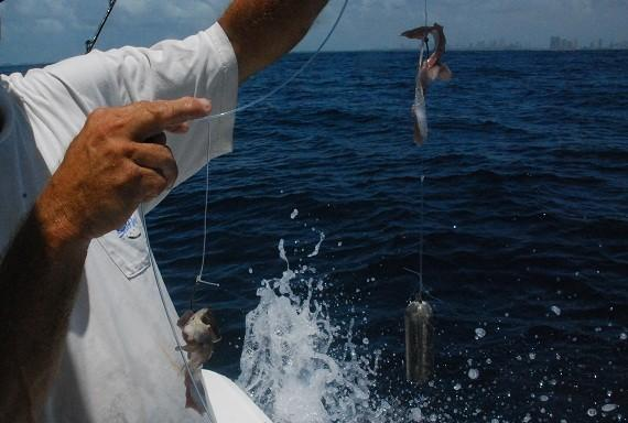 Capt. Ron Albert uses two 9/0 hooks baited with a bonito strip and a piece of squid on an 8-foot leader when deep-dropping for tilefish.