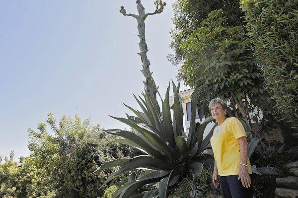 Nancy Geerlings with the giant agave in her back yard in Newport Beach.