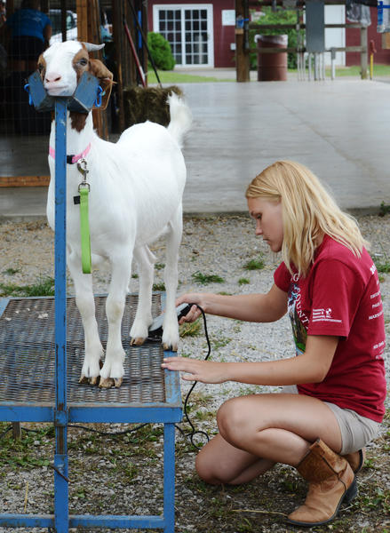 Sammy Bainbridge trims up a goat at the 2013 Washington County Ag Expo on Saturday.