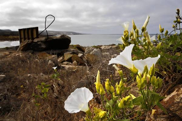An Island morning glory is in full bloom on a slope above West Cove Beach on San Clemente Island. The native plant was nearly wiped out by goats brought to the island. Twisted metal from an abandoned training structure pokes out of the rocky landscape.