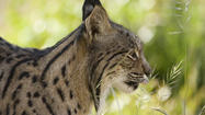 Climate change could mean extinction for Iberian lynx in 50 years