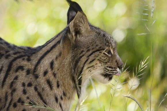 The Iberian lynx could become extinct.
