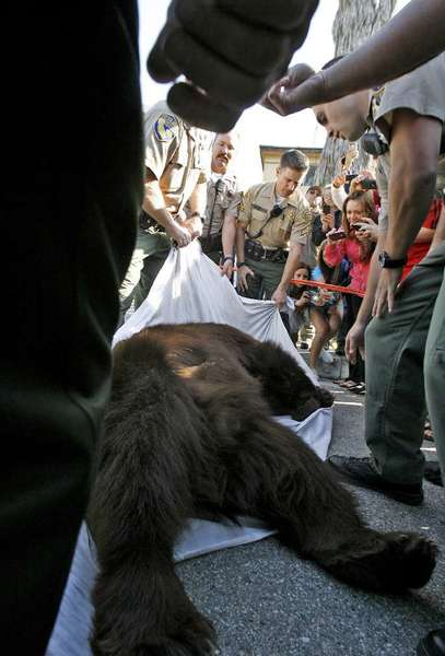 """Meatball"" fans seize the moment in April 2012 to snap photos of the 400-pound black bear in La Crescenta."