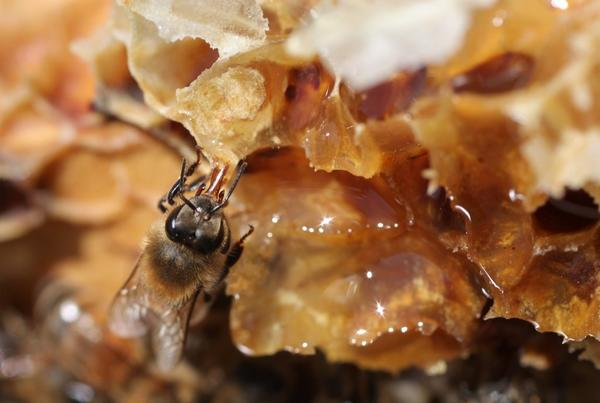 New research links a cocktail of pesticides with a fatal parasite in honey bees, one possible factor in the catastrophic collapse of domesticated bee colonies.