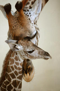 A giraffe calf was born at Disney's Animal Kingdom in July 2013.