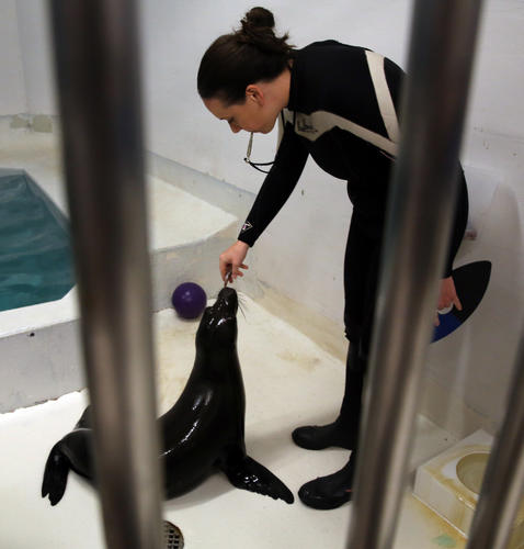 Laguna, who has made the Shedd Aquarium his home, was rescued after nearly starving twice while beached in California.