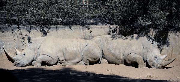 Two white rhinos at the Johannesburg Zoo. More than 500 rhinos have been killed so far this year in South Africa.
