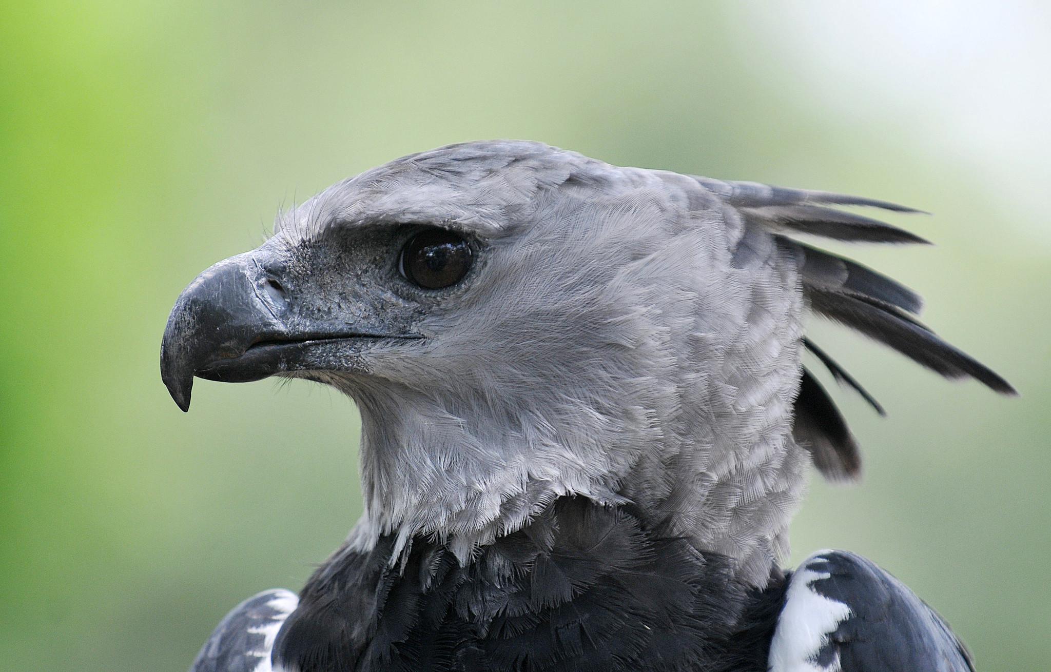 10 harpy eagle sun sentinel - Harpy eagle hd wallpaper ...