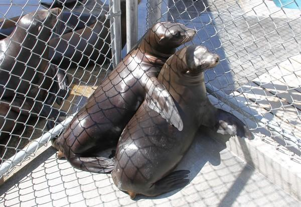 Grace the sea lion puts her flipper around Evanora at the Pacific Marine Mammal Center. Center staff will release Evanora and Grace back into the ocean this weekend.