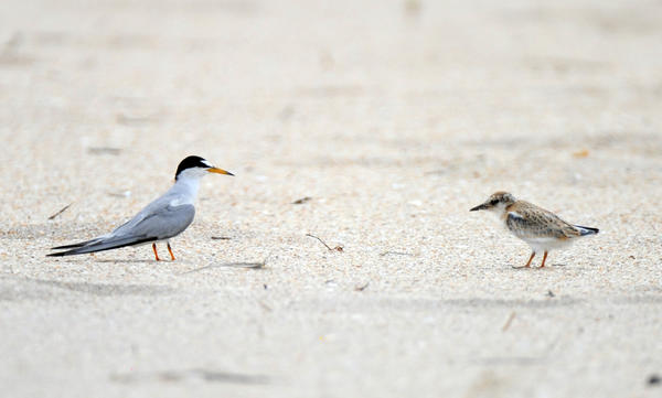 A least tern and a chick on the beach in Fort Lauderdale, where a colony of about 100 of the birds successfully nested this summer.