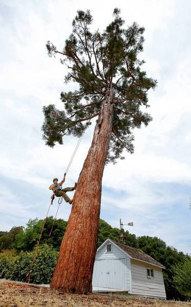 Keith Park, a horticulturist with the National Park Service, is photographed on the 70-foot-tall sequoia at the John Muir National Historic Site in Martinez, Calif. Muir brought back the tree as a seedling from the Sierra Nevada 130 years ago. The sequoia is dying of an airborne fungus, and Park is trying to keep at least part of the ailing conifer alive through cloning.