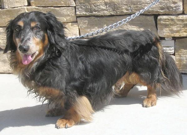 Frankie, a longhaired dachshund.