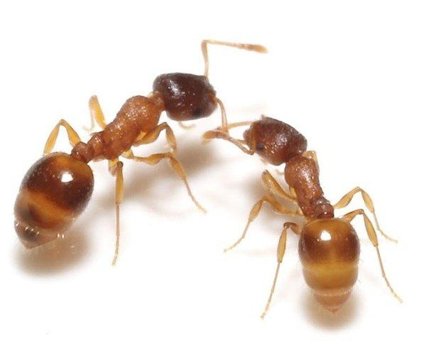 Scientists have found that Temnothorax rugatulus ant colonies could consider two competing nesting sites and choose the better option if the difference between the two options was small. But when the difference between the nests was obvious, colonies were more likely to choose the inferior site.