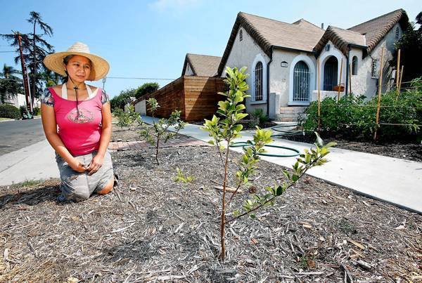 Angel Teger admires one of her newly planted lemon trees in the parkway in front of her L.A. home.