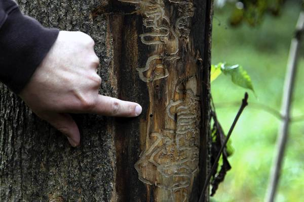 Mark Speckan, forestry crew chief of the Lake County Forest Preserve District, points out evidence of an emerald ash borer on an ash tree at the Sedge Meadow Forest Preserve near Wadsworth in 2011. The beetle's larvae feed on the inner bark of the tree.