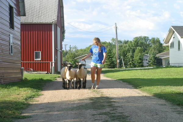 Carly Wheeting regularly walks her sheep around Groton in preparation for the Brown County Fair. Wheeting will be showing sheep, pigs and a goat at the fair. American News Photo by Elisa Sand