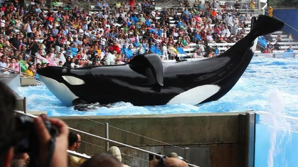 "Tilikum in a scene from the movie ""Blackfish"""