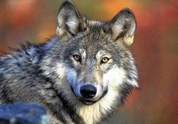When gray wolves returned to Yellowstone National Park in 1995 after a 70-year absence, they preyed on elk herds that browsed on trees and shrubs. The over-browsed plants rebounded, providing more food for grizzly bears.