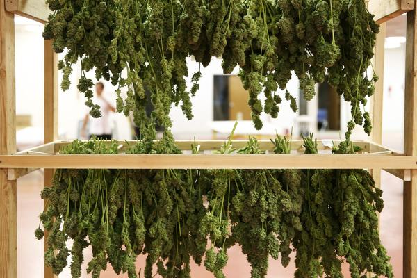 Freshly harvested medical marijuana hangs on a drying rack before being sent to the curing room where it will dry out, losing 80 percent of its weight at River Rock Medical Marijuana Center in Denver.