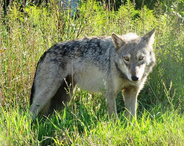 Pictured is a gray wolf at the Seney National Wildlife Refuge.