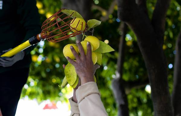 A volunteer harvests fruit that might otherwise go to waste for the Garden to Table project in San Jose. The project aims to create a local food supply in neighborhoods where hunger is prevalent and fresh foods are not.